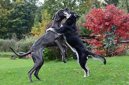 världens och sveriges största hund